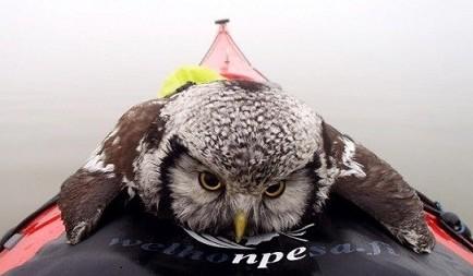 猫头鹰落冰湖 幸运获救搭顺风船