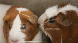 钱柜777官方网站:'Pigs Is Pigs,' by Ellis Parker Butler