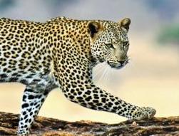 我们讲的英语第266期:A leopard can't change its spots 江山易改本性难移