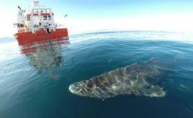 VOA����Ӣ��:The Longest Living Vertebrate is�� a Shark(����)