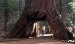VOA慢速英语:California Storm Brings Down Giant Sequoia Tree