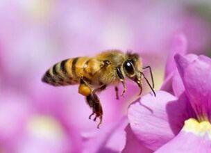 国际英语新闻: Honey bees found to have much better vision than previously thought: Australian research