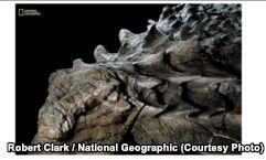 VOA慢速英语:'One-in-a-Billion' Dinosaur Discovery