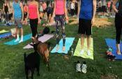 VOA常速英语:瑜伽新趋势:和山羊一起练习