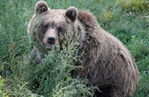 气候变暖让灰熊弃荤从素改吃浆果