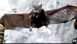 VOA慢速英语:疾病继续威胁着美国蝙蝠