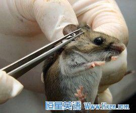 英语访谈节目:基因改造的老鼠是否可以减少莱姆病?