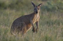 袋鼠数量突破4500万 澳洲呼吁民众多吃袋鼠肉