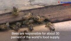 VOA慢速英语:蜜蜂将杀虫剂带入蜂蜜中