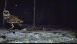 印度尼西亚村庄用猫头鹰保护庄稼