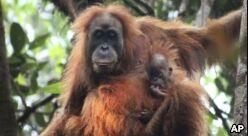 VOA慢速英语:印度尼西亚发现新的猩猩种类