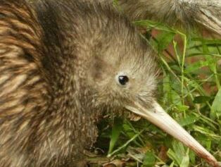 钱柜777官方网站:保护组织认为几维鸟的未来更美好