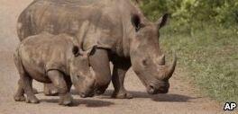 非洲大型动物数量在战时急剧减少