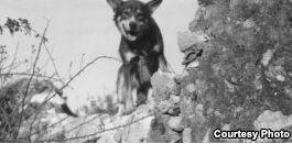 VOA慢速英语:第二次世界大战期间英勇作战的美国陆军犬