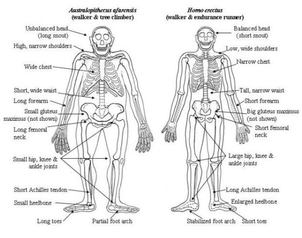 雅思写作小作文混合图考官范文:人体构造
