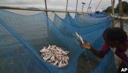 研究称蚊帐被广泛用于捕鱼