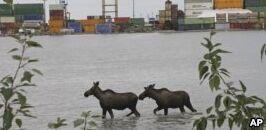 钱柜777官方网站:阿拉斯加官员使用DNA帮助计算城市驼鹿