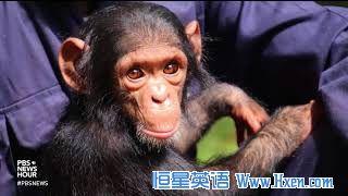 英语访谈节目:黑猩猩的可爱飞行之旅实为悲剧