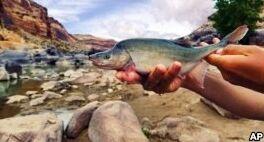 科学家让昆虫帮助科罗拉多河鱼