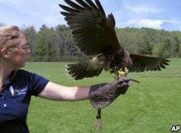 VOA慢速英语:游客体验古代猎鹰运动
