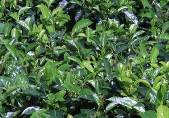 绿茶可以治疗心血管疾病,还预防老年痴呆?