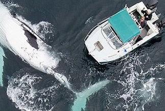 英语访谈节目:无人机改变我们对座头鲸的研究方法