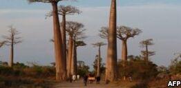 VOA慢速英语:非洲猴面包树濒临死亡