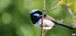 VOA慢速英语:专家称鸟儿通过倾听来学习对方的语言