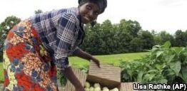 难民在美国种植非洲茄子