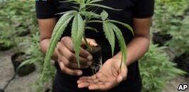 VOA慢速英语:科学家探索大麻如何对抗精神病