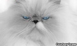 VOA慢速英语:好奇害死猫