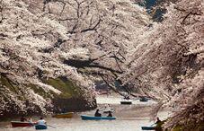 赏枫变赏樱:极端天气导致日本樱花秋天绽放