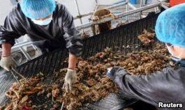 VOA慢速英语:中国探索蟑螂的多种益处