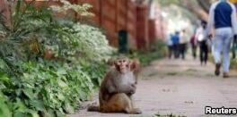 VOA慢速英语:猴子引起印度首都周边问题