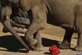 VOA慢速英语:约翰内斯堡动物园 最后一头大象应该留下还是离开?