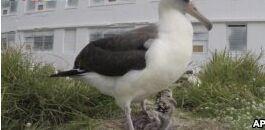 VOA慢速英语:世界上最古老的野鸟又当妈妈了