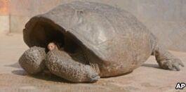 VOA慢速英语:加拉帕戈斯群岛发现一种超过110年未见的陆龟