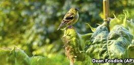 VOA慢速英语:喂鸟时要考虑安全和健康