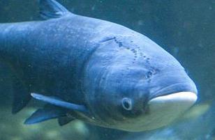 英语访谈节目:我们拿亚洲鲤鱼怎么办