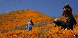 VOA慢速英语:社交媒体让加州盛开的花儿毁灭