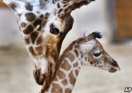 VOA慢速英语:一个家庭拯救濒危动物的努力