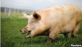 VOA慢速英语:科学家成功复活死猪脑部细胞