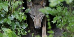 VOA慢速英语:研究称狗进化成用眼睛与人类联系