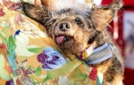 "VOA慢速英语:加利福尼亚举办""世界最丑狗狗比赛"""
