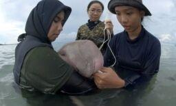 泰国生物学家照顾海牛宝宝