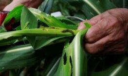 VOA慢速英语:黏虫危害中国的农作物