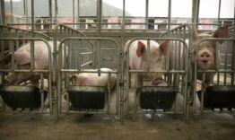 VOA慢速英语:科学家们正在加紧研制中国猪瘟疫苗