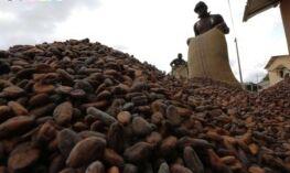 VOA慢速英语:加纳可可种植者失去土地和生计