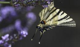 VOA慢速英语:在困难时期用混合的花喂蜜蜂