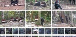 VOA慢速英语:面部识别技术被用于识别和跟踪动物